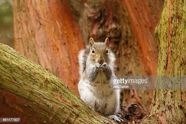 Grey squirrel eating a nut in a tree
