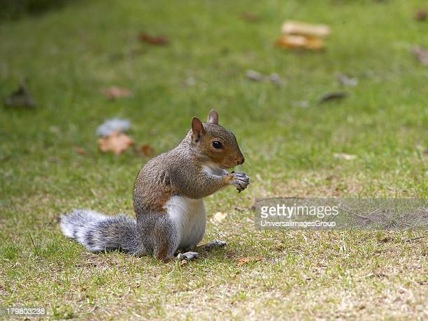 Grey Squirrel eating seen in Grosvenor Park Chester Scotland United Kingdom