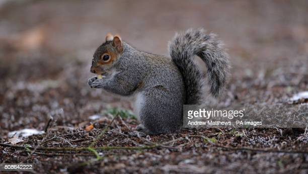 A Grey Squirrel eats a foraged nut in Highfields Park Nottingham as the cold weather continues in the UK