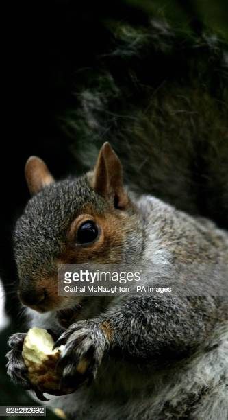 A grey squirrel feeds while sitting on a tree in Regents Park London Wednesday January 4 2006 The grey squirrel is able to cope better than the red...