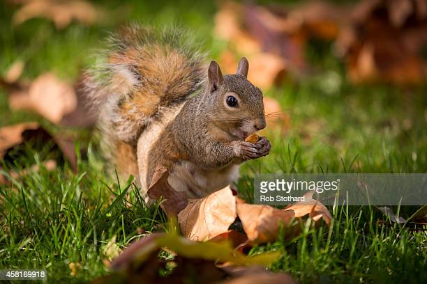A grey squirrel forages amongst the autumn leaves in Green Park on October 31 2014 in London England Temperatures in London are forecasted to exceed...