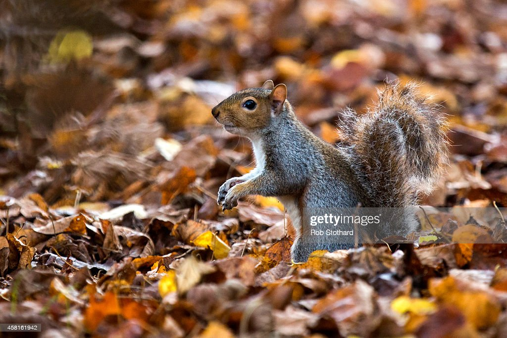 A grey squirrel forages amongst the autumn leaves in Hyde Park on October 31, 2014 in London, England. Temperatures in London are forecasted to exceed 20 degrees, making today the hottest Halloween on record.