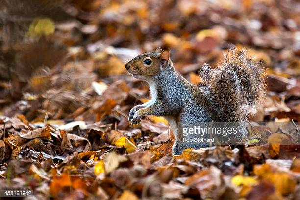 A grey squirrel forages amongst the autumn leaves in Hyde Park on October 31 2014 in London England Temperatures in London are forecasted to exceed...