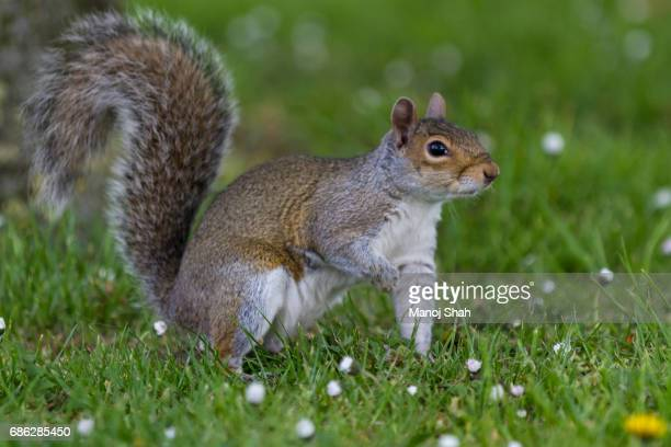 grey squirrel in a london park - eastern gray squirrel stock photos and pictures