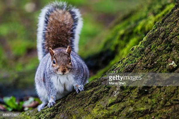 grey squirrel in an english forest - gray squirrel stock pictures, royalty-free photos & images