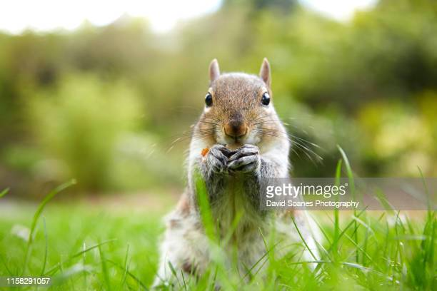 grey squirrel in botanic gardens, dublin, ireland - gray squirrel stock pictures, royalty-free photos & images