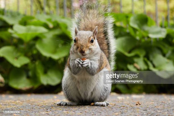 grey squirrel in botanic gardens, dublin, ireland - david soanes stock pictures, royalty-free photos & images