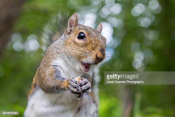 grey squirrel in botanic gardens, dublin, ireland - squirrel stock pictures, royalty-free photos & images