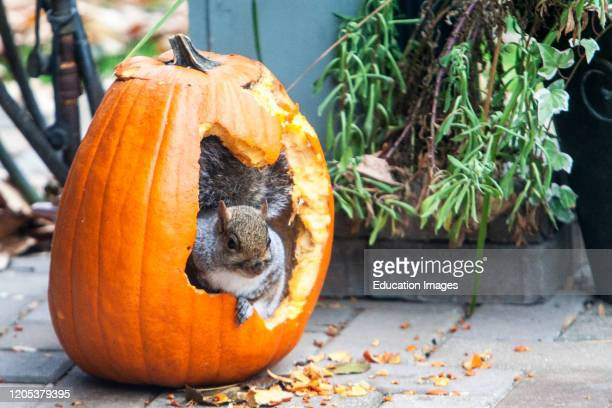 Grey squirrel inside pumpkin eating seeds Halloween Illinois USA