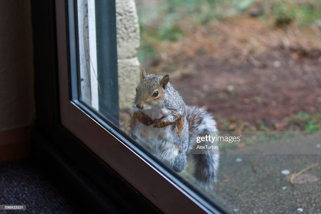 Grey squirrel looking through patio door  Stock Photo & Grey Squirrel Looking Through Patio Door Stock Photo | Getty Images
