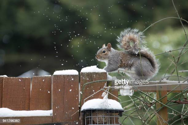 A grey squirrel on a garden fence looking for food following recent snow on 18th March 2018 in West Norwood in South London United Kingdom