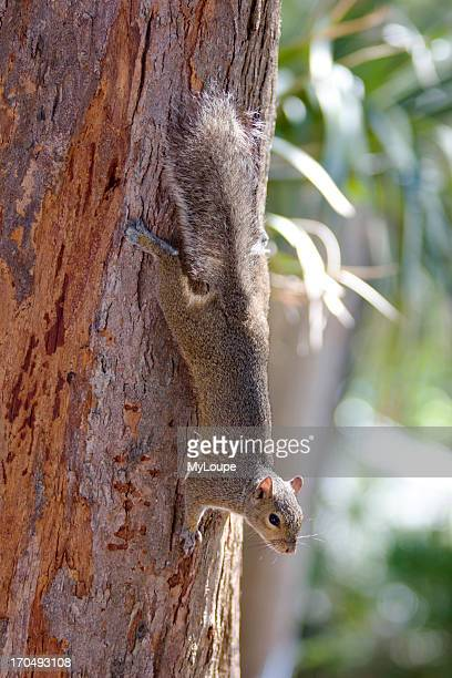Grey Squirrel On A Tree At Fort De Soto Park In Florida USA