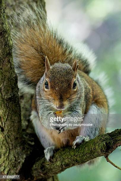 grey squirrel on a tree branch. - holland park stock pictures, royalty-free photos & images