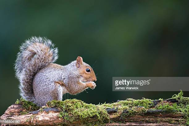 Grey squirrel on moss-covered log