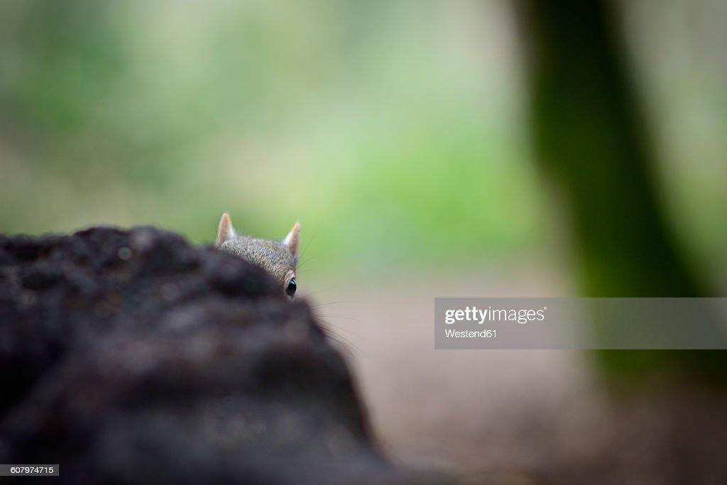 Grey squirrel peeking : Stock Photo