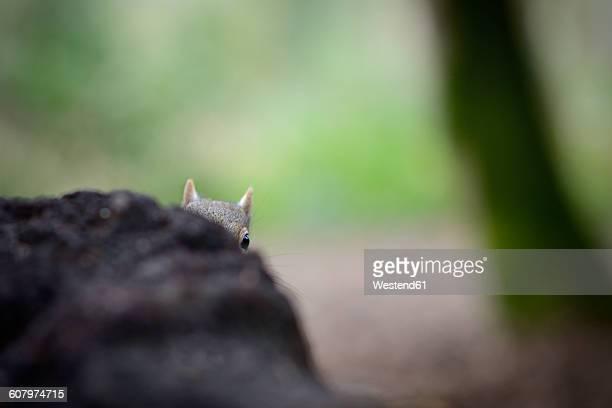 Grey squirrel peeking