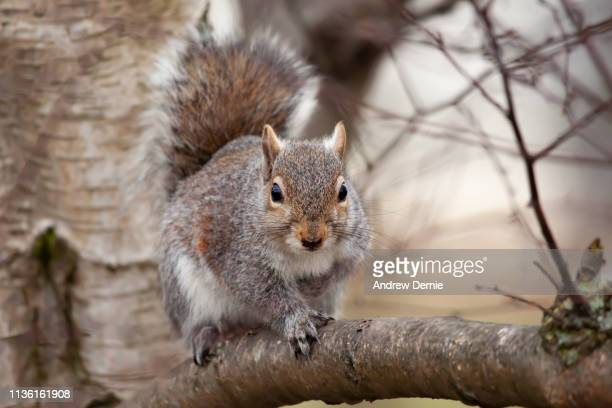 grey squirrel - andrew dernie stock pictures, royalty-free photos & images