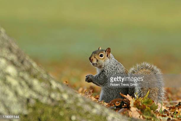 grey squirrel - eastern gray squirrel stock photos and pictures
