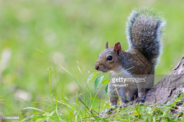 grey squirrel - gray squirrel stock photos and pictures