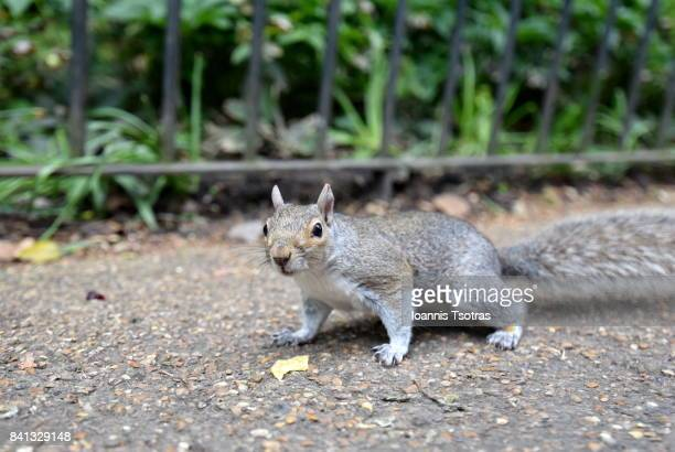 grey squirrel - squirrel stock pictures, royalty-free photos & images