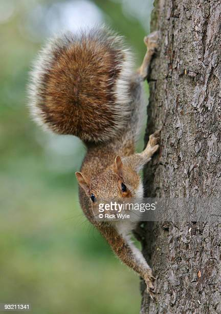 grey squirrel (sciurus carolinensis) - gray squirrel stock photos and pictures