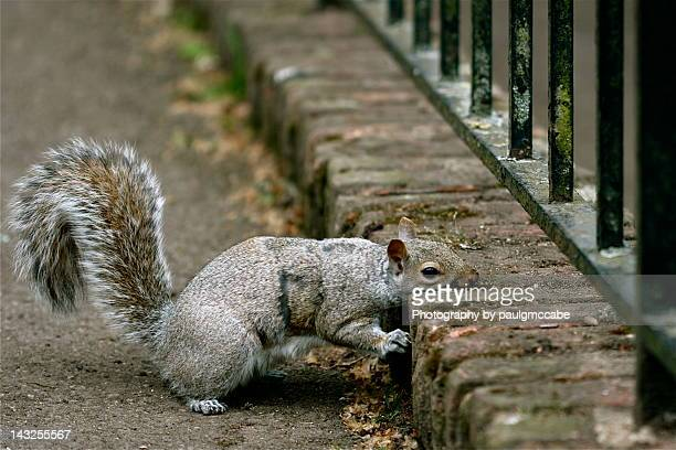 grey squirrel resting head on pathway kerb - holland park stock pictures, royalty-free photos & images
