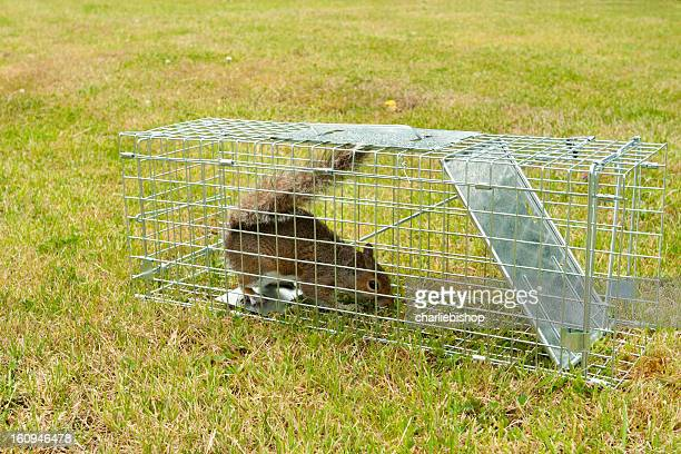 grey squirrel rodent in a wire trap - pest stock photos and pictures