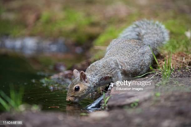 Grey Squirrel Sciurus carolinensis drinking at woodland pool Norfolk UK