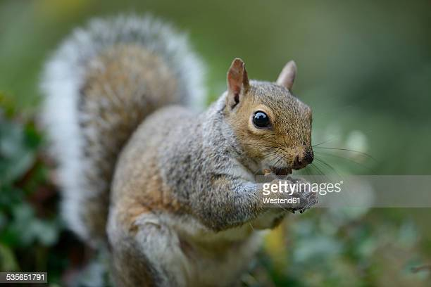 grey squirrel, sciurus carolinensis, eating - eastern gray squirrel stock photos and pictures