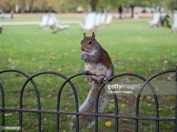 Grey Squirrel Sciurus carolinensis in st James park London UK