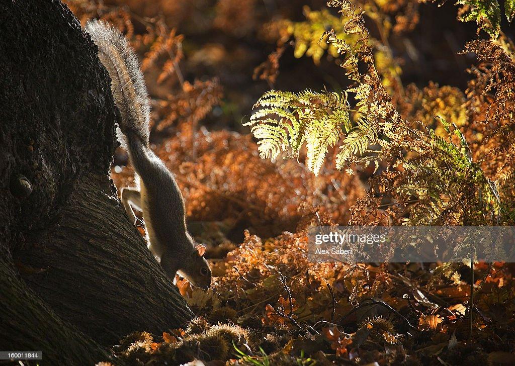A grey squirrel, Sciurus carolinensis, looks for nuts in autumn foliage. : Stock Photo