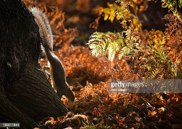 richmond park, london, england. - gray squirrel stock photos and pictures