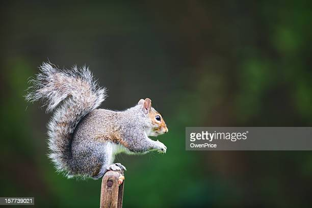 grey squirrel sciurus carolinensis - gray squirrel stock photos and pictures