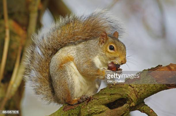 grey squirrel [sciurus carolinensis] - picture of a buckeye tree stock photos and pictures