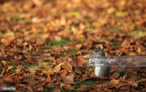 Grey Squirrel sits in fallen leaves in St James's Park on November 18 2011 in London England The UK continues to experience unseasonably mild weather...