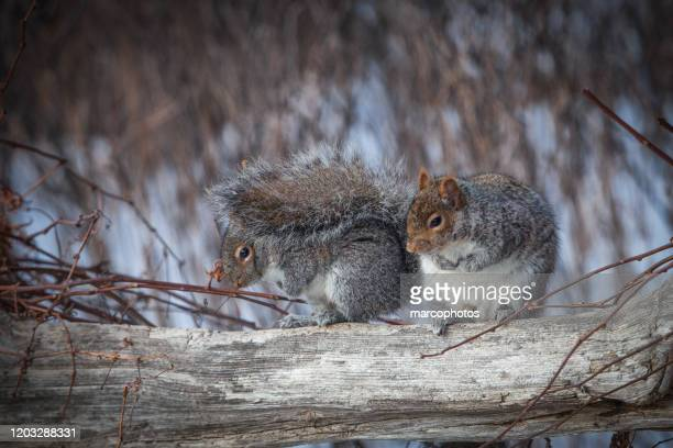 grey squirrels in winter. - two animals stock pictures, royalty-free photos & images