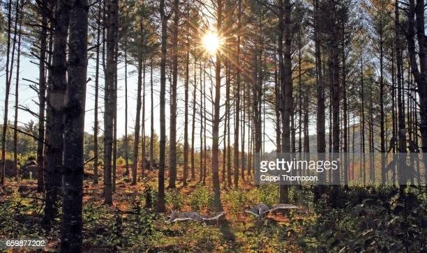 Grey Squirrels running through pine forest