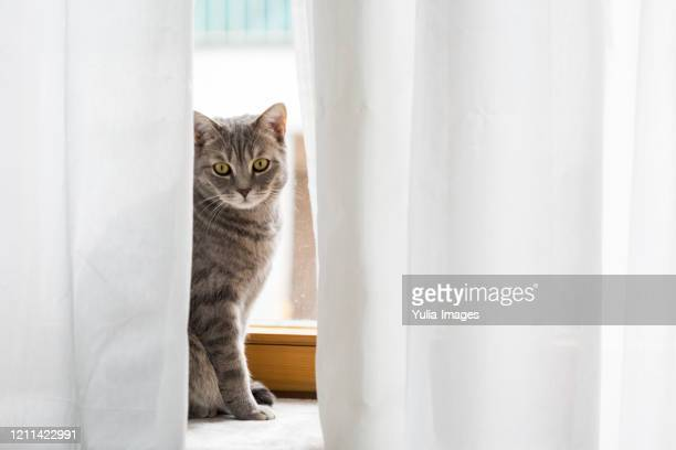 grey tabby cat framed by white curtains - tabby stock pictures, royalty-free photos & images
