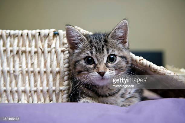 grey tabby kitten playing - cat hiding under bed stock pictures, royalty-free photos & images