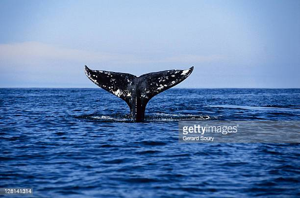 grey whale,eschrichtius robustus, diving, tofino,vancouver is,bc, canada - pacific ocean stock photos and pictures