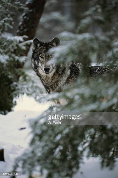 Grey wolf (Canis lupus) behind coniferous tree, Canada