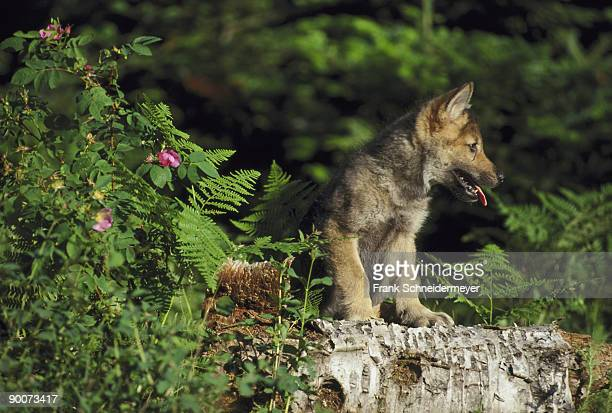 grey wolf canis lupus portrait of 4 wk old pup kalispell, montana, usa