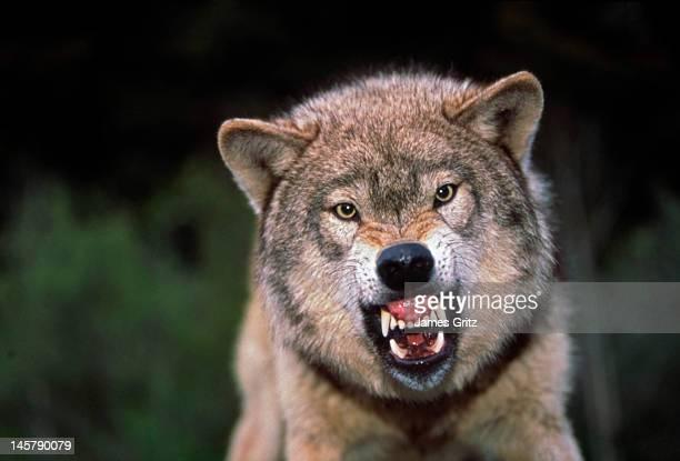 Grey wolf growling