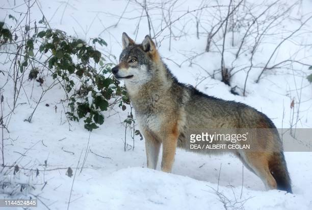 Grey wolf in the snow, Spormaggiore Wildlife Park, Paganella plateau, Trentino-Alto Adige, Italy.