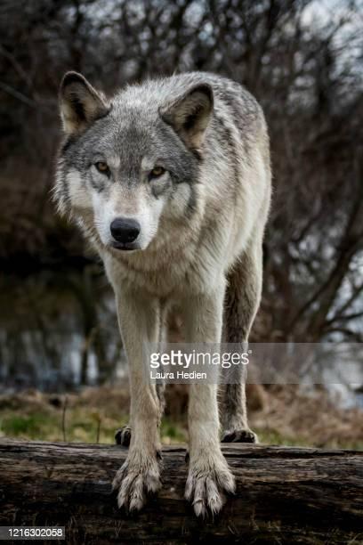 grey wolf in the springtime in the midwest - mammifero foto e immagini stock