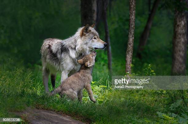 grey wolf mother with her young pup - lobo fotografías e imágenes de stock
