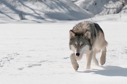Grey Wolf (Canis lupus) Stalks Forward 168720588