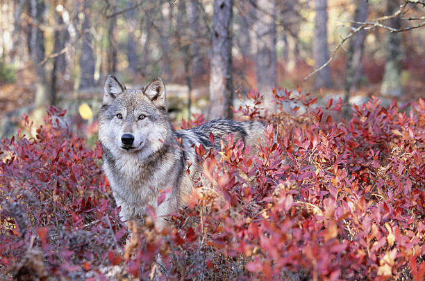 Grey wolf (Canis lupus) standing behind fall foliage