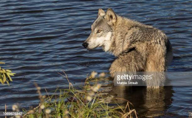 grey wolf standing in a pond - wild dog stock pictures, royalty-free photos & images
