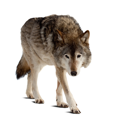 Grey wolf steals in white background 177022405